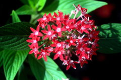 Red Sparkling Stars. Plant with bushel of red star shaped flowers Royalty Free Stock Photography