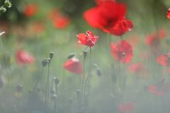 bright flowers of poppies stock images