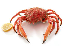 Red spider crabs Stock Image