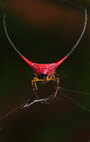 Red Spider (Gasteracantha arcuata). The Red Spider (Gasteracantha arcuata Royalty Free Stock Photography