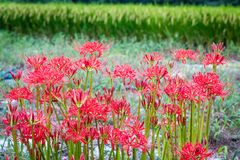 Red Spider Lily Patch. Red Spider Lilies, or higanbana, bloom each September along rice fields in Japan; these poisonous flowers of the equinox symbolize death Stock Images