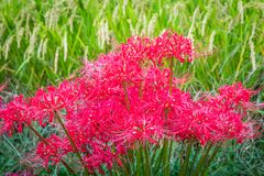 Red Spider Lilies and Rice. A vivid patch of Red Spider Lilies blooms in Spetember alongside rice ready for harvest in rural Fukuoka, Japan; these poisonous Royalty Free Stock Images