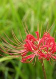 Red Spider Lily Royalty Free Stock Photo