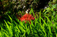 Red spider lily flower Stock Image
