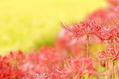 Red spider lily Stock Image
