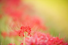 Red spider lily Royalty Free Stock Images