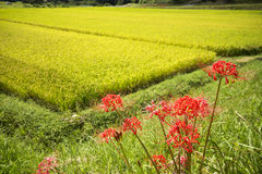 Red spider lily flowers. In front of overlooking rice field Stock Images