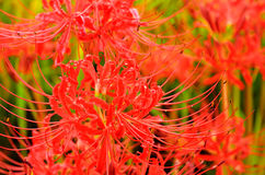 Red spider lily Royalty Free Stock Image