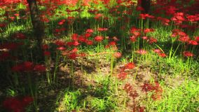 Red spider lily at the forest at autumn sunny day. Chichibu district Saitama Japan - 09.19.2017 : It s a red spider lily at the forest stock video footage