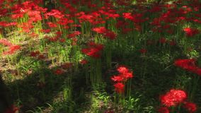 Red spider lily at the forest at autumn sunny day stock footage