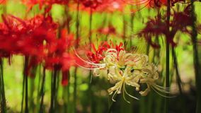 Red spider lily at the forest at autumn sunny day. Chichibu district Saitama Japan - 09.19.2017 : It s a red spider lily at the forest stock video