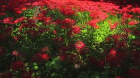 Red spider lily at the forest at autumn sunny day stock video footage
