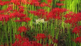 Red spider lily at the forest at autumn sunny day. Chichibu district Saitama Japan - 09.19.2017 : It s a red spider lily at the forest stock footage