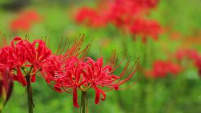 Red spider lily at the forest at autumn sunny day stock video