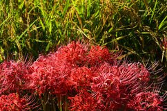Red spider lily, Japan Stock Photography