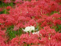 Red Spider Lily in Japan. Lycoris radiata, known as red spider lily or equinox flower is a plant in the amaryllis family. Here are a field of these flowers near royalty free stock images