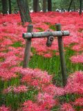 Red Spider Lily in Japan. Lycoris radiata, known as red spider lily or equinox flower is a plant in the amaryllis family. Here are a field of these flowers near royalty free stock photo