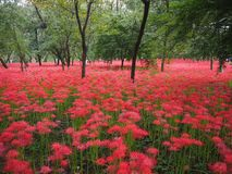 Red Spider Lily in Japan. Lycoris radiata, known as red spider lily or equinox flower is a plant in the amaryllis family. Here are a field of these flowers near stock photography