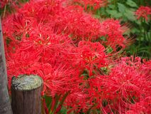 Red Spider Lily in Japan. Lycoris radiata, known as red spider lily or equinox flower is a plant in the amaryllis family. Here are a field of these flowers near stock photo