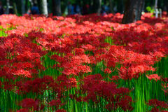 Red spider lily. In Kinchakuda, in Hidaka city, Saitama prefecture, Japan Royalty Free Stock Images