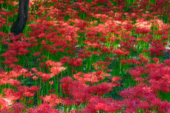 Red spider lily Stock Photos