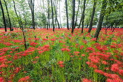 RED SPIDER LILY Stock Photo