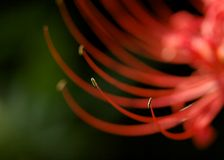 Red Spider Lily Stamen Royalty Free Stock Photo