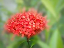 Red spike flower in close up. Red flower spike royalty free stock images
