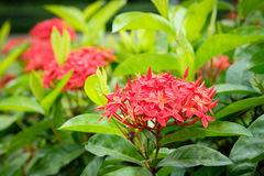Red spike. Flower.King Ixora blooming stock images