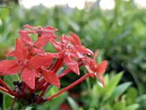 Red spike flowers in the morning. (photos&#x29 royalty free stock image
