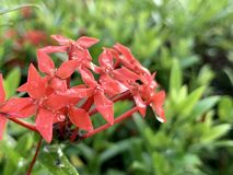 Red spike flowers in the morning. (photos&#x29 stock photos