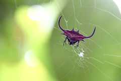 Red spiked orb weaver spider Stock Photo