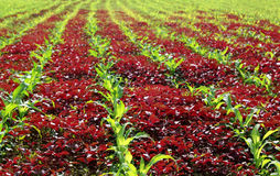 Red spinach and corn field Royalty Free Stock Photography