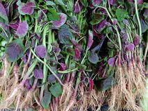 Red spinach Royalty Free Stock Image