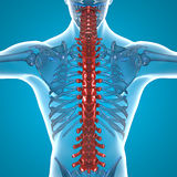 Red Spine x-ray skeleton. Human body Royalty Free Stock Photography
