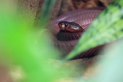 Red spitting cobra Royalty Free Stock Image