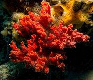 Red sponge with brittle star Royalty Free Stock Images