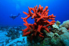 Red sponge and Scuba Diver. Red Finger Sponge with Scuba diver in background Royalty Free Stock Photo