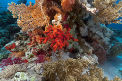 Red sponge and tropical reef in the Red Sea. Royalty Free Stock Photography