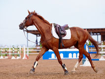 Red sports horse Stock Images