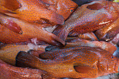 Red spot Grouper Royalty Free Stock Photos