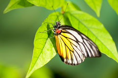 Red spot sawtooth butterfly close up on a leaf Royalty Free Stock Image