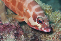 Red-spotted coral fish Stock Images