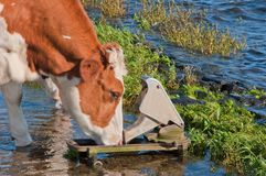 Red spotted cow drinking while standing in water Stock Photography