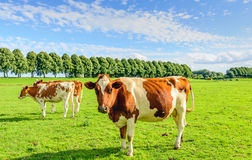 Red spotted cows in a green meadow in summertime Royalty Free Stock Image