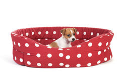Red spotted pet bed with little puppy. Red spotted empty pet bed with little Jack Russel puppy royalty free stock photos