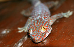 Red spotted gecko. Close up of a red spotted gecko, picture taken on the Komodo island, Indonesia stock images