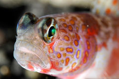 Red spotted goby Stock Image
