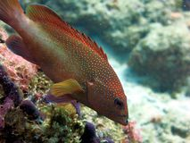 Red Spotted Grouper Royalty Free Stock Photos