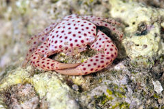 Red-spotted guard crab Royalty Free Stock Images